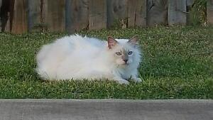 Lilac Point Ragdoll Looking for His New Forever Home Catherine Field Camden Area Preview