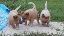 Cattle dog pups Wynnum Brisbane South East Preview