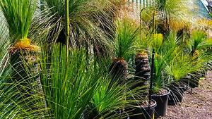 Huge selection of Grass Trees at the best price Greenvale Hume Area Preview