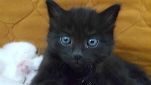 Little Black Girl Kitten Chadstone Monash Area Preview