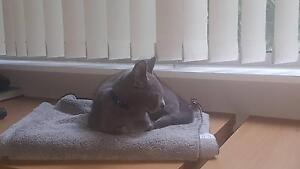 Russian Blue purebred male kitten needs new home in Sydney Ryde Ryde Area Preview