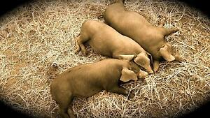 Ten Grower piglets for sale Gregadoo Wagga Wagga City Preview