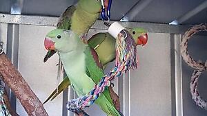 Alexandrine Parrot Willetton Canning Area Preview