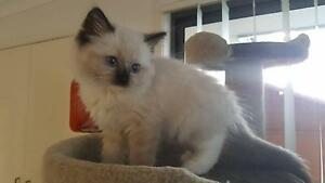 Ragdoll Kittens as Pets and Breeders need a Loving Home Catherine Field Camden Area Preview
