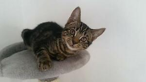 Beautiful rescue kittens Woodvale Joondalup Area Preview