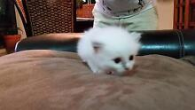 RAG DOLL KITTEN Ormeau Gold Coast North Preview