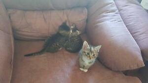 Kittens .3 male 1 female Hagley Meander Valley Preview
