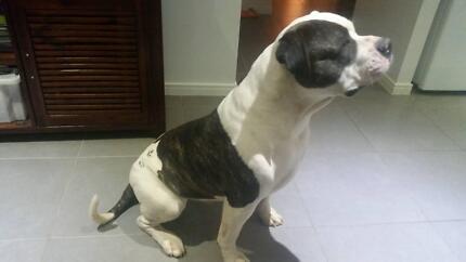 American Johnson Bulldog urgent sale Redbank Plains Ipswich City Preview