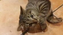 Cutest, sweetest, most adorable 6mth old tabby for sale! Bonogin Gold Coast South Preview