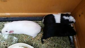 adult female guinea pigs Springfield Lakes Ipswich City Preview