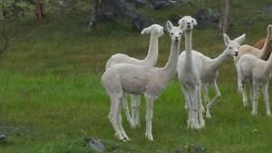 Rockleigh Alpacas - Bowie - male/wether/guardian/pet Harrogate Mount Barker Area Preview