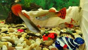 Various Tropical Fish for Sale! O'Halloran Hill Marion Area Preview