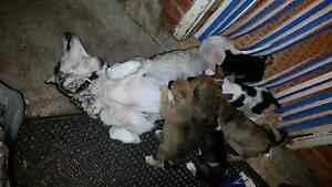 Alaskan Malamute X Staffy Pups Woodville West Charles Sturt Area Preview