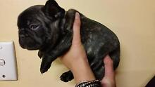 FRENCH BULLDOG Whyalla Whyalla Area Preview
