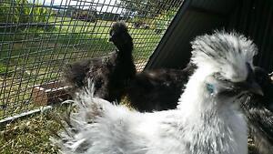 Silkie Chickens Ballarat Central Ballarat City Preview