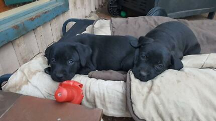 Labrador/ boxer puppies