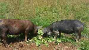 Pig/porkers Wynyard Waratah Area Preview