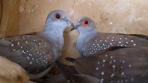 Diamond doves Hampton Park Casey Area Preview