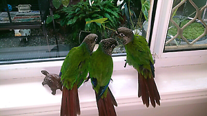 Pearly conures Crestmead Logan Area Preview