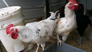 Maran roosters for sale Lalor Whittlesea Area Preview