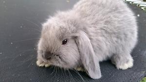 Gorgeous minilop bunnies available now Macgregor Belconnen Area Preview