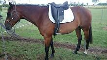 Bay gelding 15.1 hands Southbrook Toowoomba Surrounds Preview