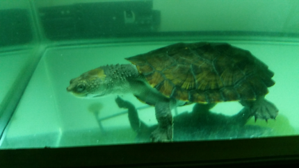 Turtle for sale