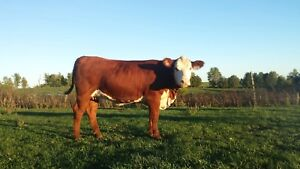 Grass fed and finished beef for sale
