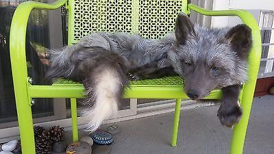 pearl fox soft mount plushy pelt taxidermy