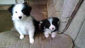 6 purebred long haired border Collie puppies for sale Gunnedah Gunnedah Area Preview