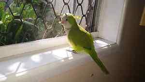 Quaker Parrot Eagleby Logan Area Preview