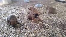 Mastiff X staffy X cattle dog Dalby Dalby Area Preview
