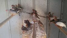 Aviary with finches Bicton Melville Area Preview
