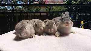 bunnies need new home Revesby Heights Bankstown Area Preview