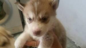 Siberian husky pups Newcastle Newcastle Area Preview