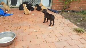 9 Staffy x kelpie puppies