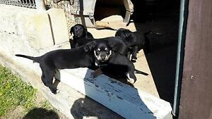 Border Collie X Kelpie Pups Wilberforce Hawkesbury Area Preview