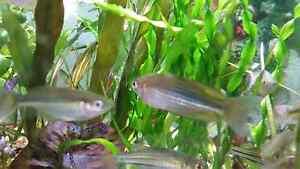 Murray River Rainbowfish Belmore Canterbury Area Preview