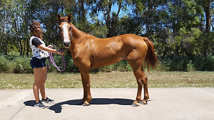 Lots of horses for sale!!! Elimbah Caboolture Area Preview