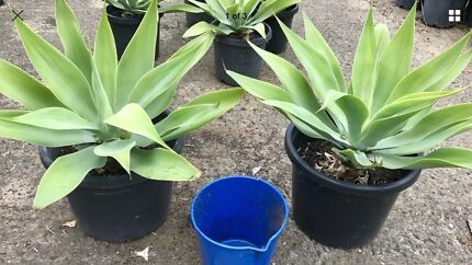 Agave plants, two(2)  xx-LARGE (in 400mm pots) with roots, Sydney del