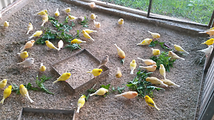 CANARIES FOR SALE Glenmore Park Penrith Area Preview