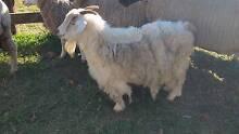 Goat. Feral X Nanny Armidale Armidale City Preview