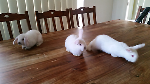 3× White cross breed bunnies Hastings Mornington Peninsula Preview