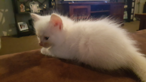 Pure bred rag doll kitten Upper Coomera Gold Coast North Preview