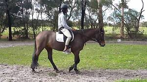 Tb x welsh mare for sale Albany Albany Area Preview