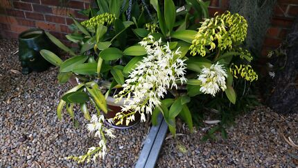 Australian Native Orchids Appin Wollondilly Area Preview