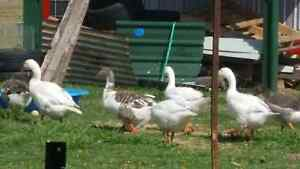 Pilgrim Geese Yamanto Ipswich City Preview