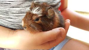 ❤QUALITY CARE GUINEA PIGS HUTCH PACKAGE DEALS Londonderry Penrith Area Preview
