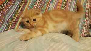 Ginger tabby scottish fold male kitten for sale. Arundel Gold Coast City Preview