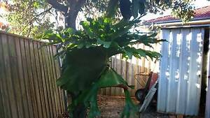 STAGHORN AND BIRDSNEST FERN Glenwood Blacktown Area Preview